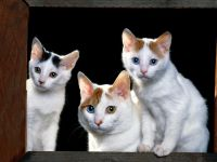 three-white-cats.jpg