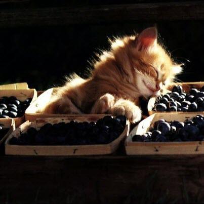 Картинки - Рыжий котенок спит в корзинке с черникой
