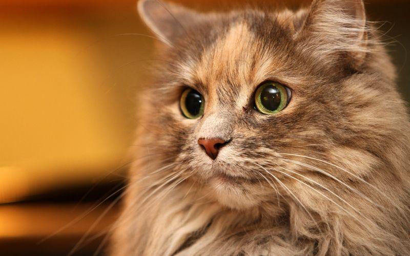 кошки с зелеными глазами
