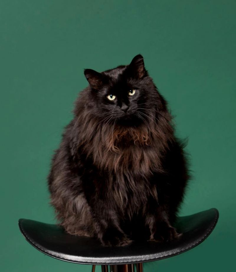 картинки сибирских котов черного окраса закуска