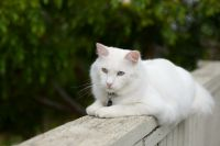 Redsvn-Turkish-Angora-cat-13.jpg